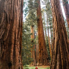 Sequoia & Kings Canyon National Park. Difficile de s'imaginer que des arbres peuvent être aussi grandioses. Nous avions l'impression d'être transportés à un autre époque, où nous n'avions pas encore fait notre marque.